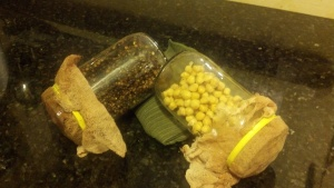 Day one, lentils and chickpeas: propping jars up with towel.
